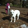 写真: 紀州犬 シュクちゃん