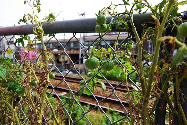 線路脇のトマト・・・