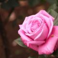 Photos: 薔薇に魅せられて ・・・ I