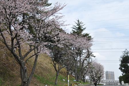 桜 2010 秋葉台公園 06