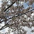 写真: 桜だう2
