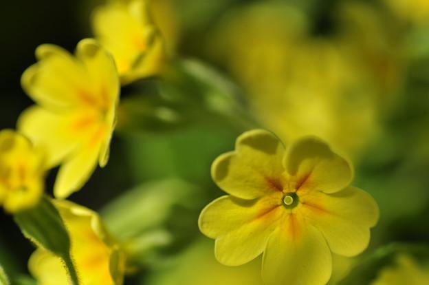 写真: Yellow Fever